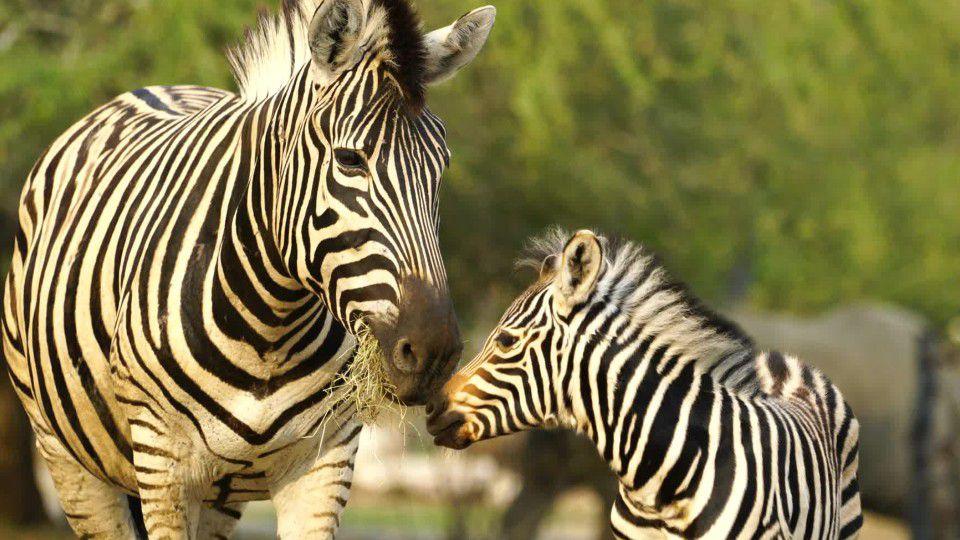 Utah's Hogle Zoo welcomes new baby zebra, Archie