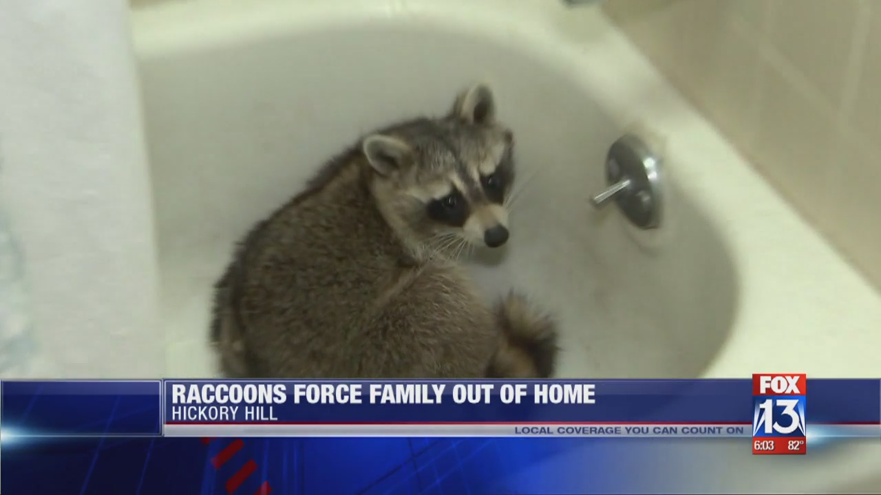 Raccoons force family out of Memphis home on raccoon hunting, raccoon toys, raccoon pets, raccoon photography, raccoon at house, raccoon lesson plans, raccoon glass, raccoon recipes, raccoon baffle, raccoon dogs, raccoon cage plans, raccoon design, raccoon books, raccoon gifts, raccoon attack, raccoon wallpaper, raccoon in house, raccoon building a house, raccoon signs,