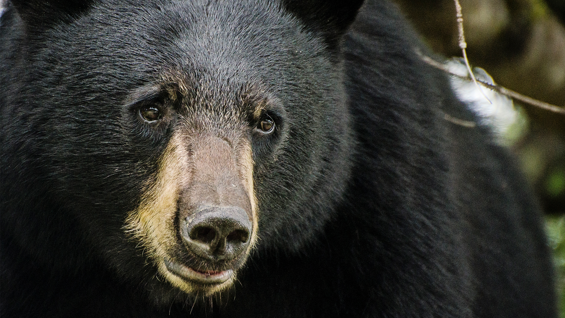 Bear wanders into Tennessee restaurant before meandering on sidewalk with tourists